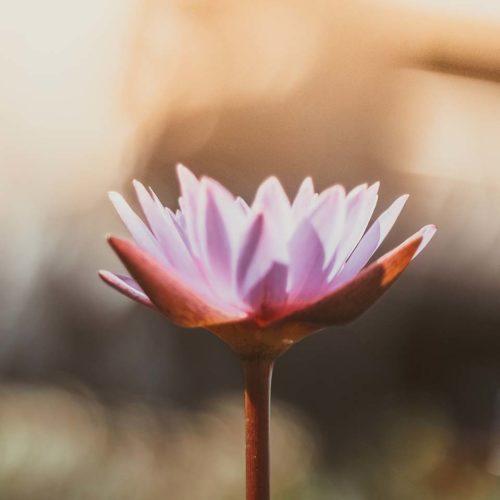 lotus_image
